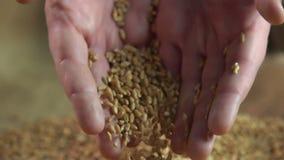 Bemannen Sie das Halten des Weizenkornes in seinen Händen, der Landwirt, der seins Arbeit, Landwirtschaft genießt stock footage
