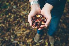 Bemannen Sie das Halten von frischen Kastanien ausgewählt vom Waldboden Stockfotos