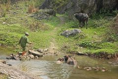Bemannen Sie das In Herden leben des Wasser-Büffels, Nihn Binh Provence, Vietnam lizenzfreie stockfotografie