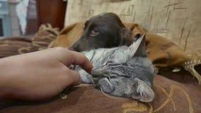 Bemannen Sie das Streichen einer traurigen Katze, die nahe bei einem Hund schläft Freundschaft einer Katze und des Hundes stock video footage