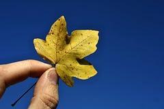 Bemannen Sie die Finger, die gelbes halten Blatt des Herbstahorns (Acer) gegen blauen Himmel Lizenzfreie Stockfotografie