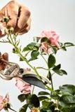 Bemannen Sie einen rosa Rosenbusch in seinem Garten zurück trimmen Lizenzfreie Stockfotos