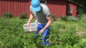 Bemannen Sie frische Kartoffel Versammlungsparasit-Kartoffelkäfers im Garten 4K stock footage