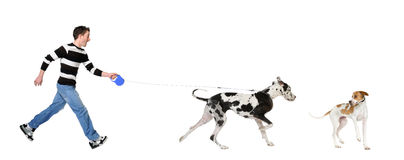 Bemannen Sie gehen sein Hund (großer Däne 4 Jahre) Stockbild