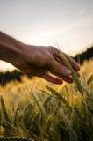 Bemannen Sie heraus erreichen, zum eines reifenden Ohrs des Weizens zu berühren Lizenzfreies Stockfoto