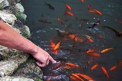 Bemannen Sie ` s Hand, die das Wasser mit der Karpfen koi Fischfütterung berührt lizenzfreie stockfotografie