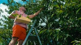 Bemannen Sie Stände auf der Treppe und den Versammlungen, die Kirschen von einem Baum im Garten sind stock video