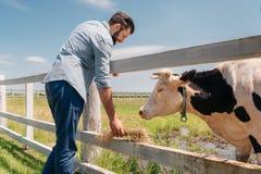 Bemannen Sie Stellung an der Bretterzaun- und Fütterungskuh auf Ackerland Lizenzfreie Stockfotos
