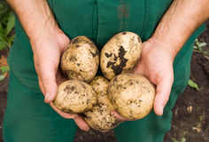 Bemant handen houdend gegraven aardappels Royalty-vrije Stock Fotografie