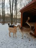 Bembi in winter. Baby deers kissing royalty free stock photo
