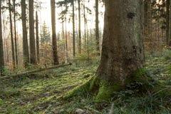 Bemost bos bij dageraad Stock Afbeelding
