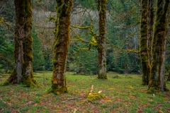Bemost Olympisch Bos, Olympisch Nationaal Park royalty-vrije stock afbeeldingen