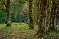Bemost Olympisch Bos, Olympisch Nationaal Park stock foto