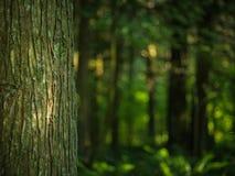 Bemoste Boom in het Groenste Bos Stock Afbeeldingen