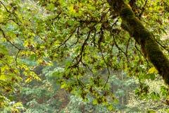 Bemoste boomboomstam die tot groene esdoornbladeren leiden in de zomer stock afbeeldingen