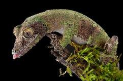 Bemoste gekko op tak Stock Fotografie
