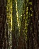 Bemoste Ponderosas bij Nationaal Sequoia. Bos Royalty-vrije Stock Foto's