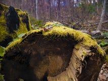 Bemoste stomp in de oud-groeibos in de herfst royalty-vrije stock afbeelding
