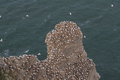 Bempton cliffs, RSPB, nesting Gannets Royalty Free Stock Photo