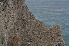 Bempton cliffs, RSPB, nesting Gannets Royalty Free Stock Image