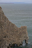 Bempton cliffs, RSPB, nesting Gannets Royalty Free Stock Images