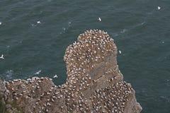Bempton klippor, RSPB som bygga bo havssulor Royaltyfri Foto