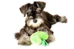 Bemused. Playful dog with chew toy royalty free stock photography
