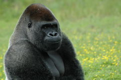 Bemused Gorilla. Gorilla facing the camera, side-on Royalty Free Stock Photography