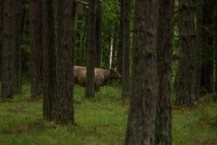 Bemuttern neugierige wilde Kühe in einem Wald Kühe mit Kalb Lizenzfreies Stockfoto