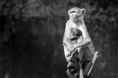 Bemuttern Sie Affen mit dem Babyaffen, der auf einem Baumast sitzt Lizenzfreies Stockbild