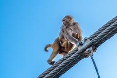 Bemuttern Sie Affen mit einem kleinen Babyaffen, der auf den Zaun der Brücke in Rishikesh, Indien geht Stockfotografie