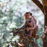 Bemuttern Sie Affen mit ihrem netten Baby mit Wald im Hintergrund Lizenzfreies Stockfoto
