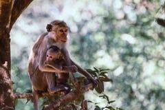 Bemuttern Sie Affen mit ihrem netten Baby mit Wald im Hintergrund Lizenzfreie Stockfotografie