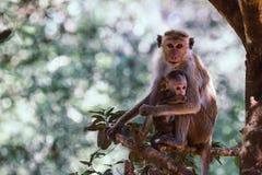 Bemuttern Sie Affen mit ihrem netten Baby mit Wald im Hintergrund Stockfoto