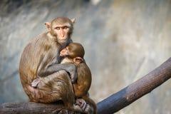Bemuttern Sie Affen und Babyaffen auf einem Baumast Lizenzfreie Stockfotografie