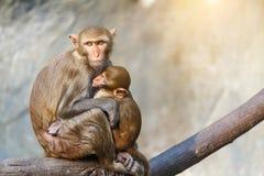 Bemuttern Sie den Affen und Babyaffen, die auf einem Baumast mit Steinwand- und Sonnenlichthintergrund sitzen Lizenzfreie Stockfotografie