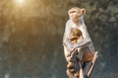Bemuttern Sie den Affen und Babyaffen, die auf einem Baumast sitzen Lizenzfreie Stockfotografie
