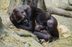 Bemuttern Sie den Gorilla und ihr Baby, die ein Schläfchen halten Stockfoto
