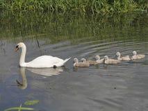 Bemuttern Sie den Höckerschwan, der sechs Baby Siegel auf Fluss führt Lizenzfreies Stockfoto