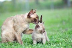 Bemuttern Sie die birmanische Katze, die liebevoll Kätzchen des Babys draußen umarmt Stockfoto