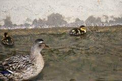 Bemuttern Sie die Ente, die nach ihren Entlein im Wasser aufpasst Stockfotos