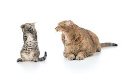Bemuttern Sie die Katze, die am erschrockenen Kätzchenkind schreit Lizenzfreies Stockbild