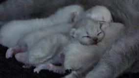 Bemuttern Sie die Katze, die ihre Kätzchen, schwarzen Hintergrund einzieht stock video