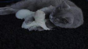 Bemuttern Sie die Katze, die ihre Kätzchen, schwarzen Hintergrund einzieht stock video footage