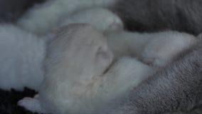 Bemuttern Sie die Katze, die ihre Kätzchen, schwarzen Hintergrund, Großaufnahme einzieht stock video footage
