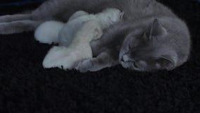 Bemuttern Sie die Katze, die ihre Kätzchen, schwarzen Hintergrund, Großaufnahme einzieht stock footage