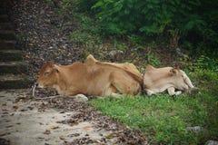Bemuttern Sie die Kuh und Kalb, die im Gras schlafen Lizenzfreie Stockfotos