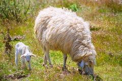 Bemuttern Sie die Schafe und Babylamm, die auf einem Gebiet weiden lassen Stockbild