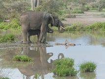 Bemuttern Sie Elefanten und ihr Schätzchen an einem waterhole Lizenzfreies Stockfoto
