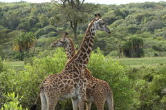 Bemuttern Sie Giraffe mit ihrem Kalb, das in Tansania steht Stockfotografie